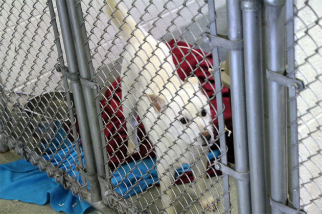 A puppy rescued from a Korean meat farm at the Animal Welfare League of Alexandria