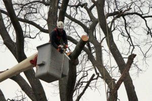 Contractors cut down a Willow Oak tree in Bluemont (file photo)