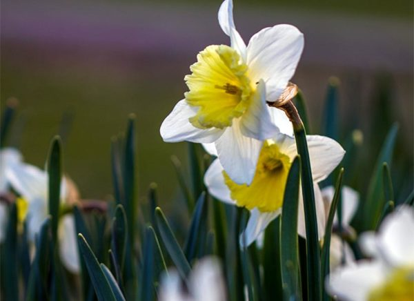 Early spring daffodils (Flickr pool photo by Erinn Shirley)