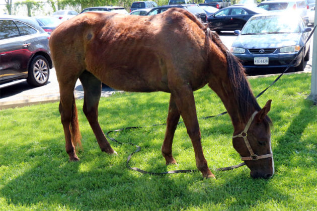 Angel, a horse that has ridden 1,500 miles from Texas to Arlington