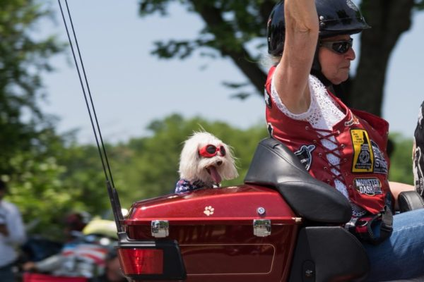 Biker pooch during Rolling Thunder 2015 (Flickr pool photo by Kevin Wolf)