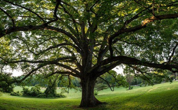 Bluemont Oak (Flickr pool photo by Dennis Dimick)