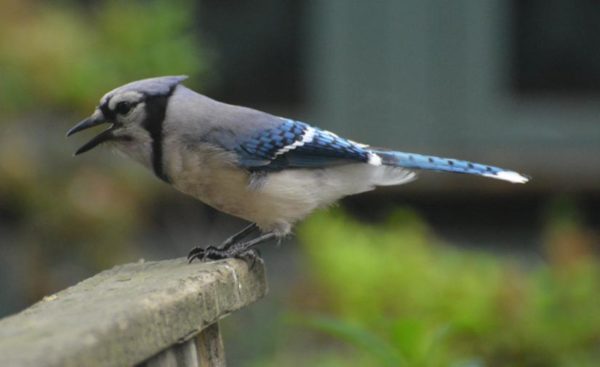 Blue Jay in Arlington (Flickr pool photo by John Sonderman)