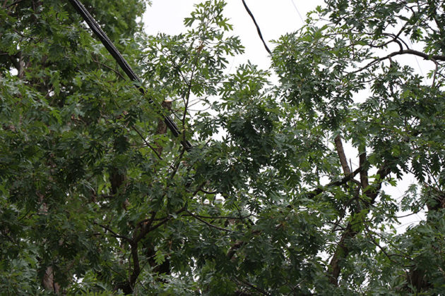 The power line went through the middle of the White Oak.