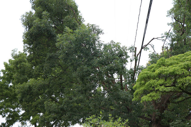 The middle branches of the White Oak tree were trimmed to make room for the power line.