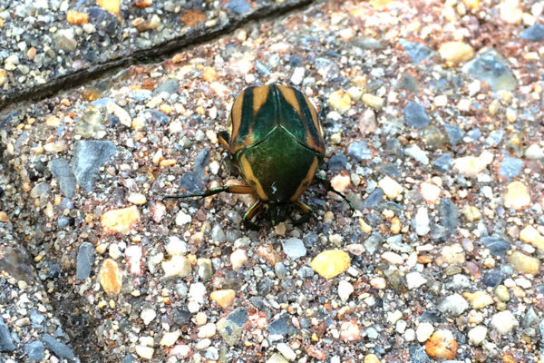 A beetle spotted in Rosslyn