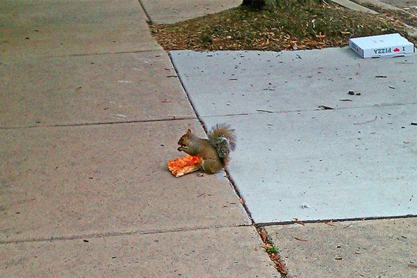 Pizza Squirrel (photo courtesy Valerie Crotty)