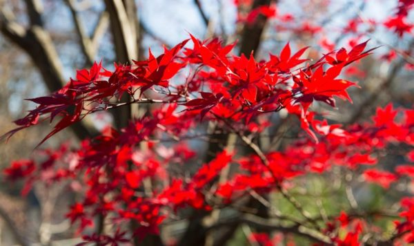 Japanese Maple in the sunlight (Flickr pool photo by Eric)