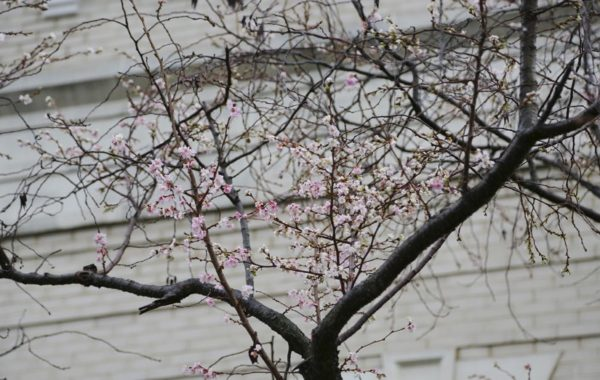 Cherry blossoms blooming in Rosslyn (Flickr pool photo by TheBeltWalk)
