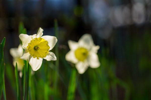Shirlington daffodils (Flickr pool photo by Erinn Shirley)