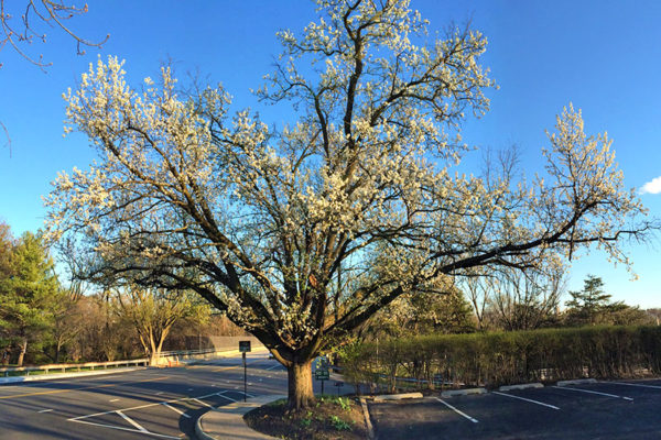 Tree in bloom in Fairlington