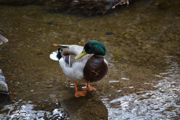 A duck in Bon Air Park (Flickr pool photo by Airamangel)