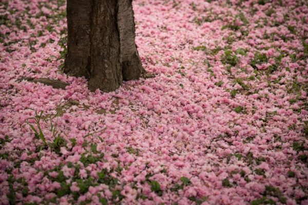 Pink carpet around tree (Flickr pool photo by Kevin Wolf)