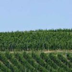 Tokaji-vineyard-10001524