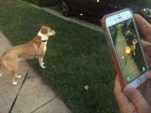 An iPhone user playing Pokemon Go in Fairlington, with a dog oblivious to the nearby virtual Pokemon