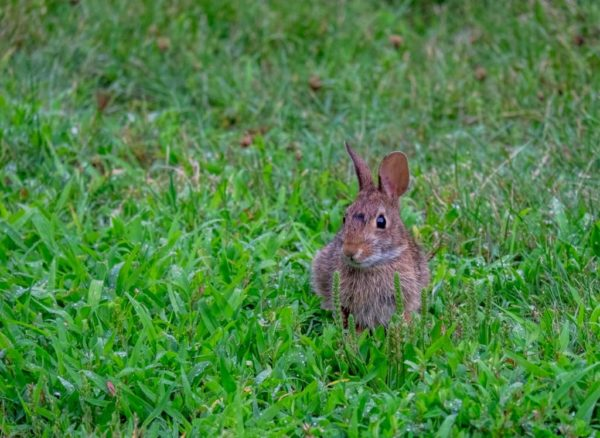 Bunny rabbit (Flickr pool photo by Erinn Shirley)