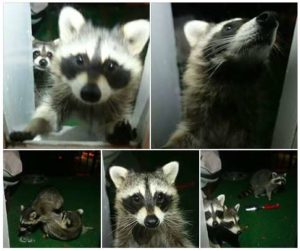 Photos of a family of raccoons uploaded to the Fairlington Facebook page (photo by Lilia Ward)