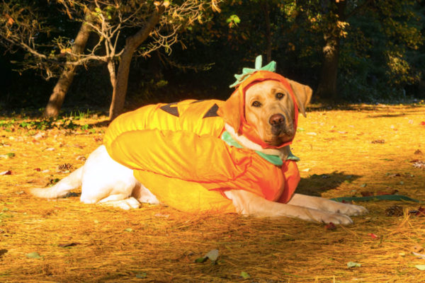 Dog dressed as a pumpkin (Flickr pool photo by Joseph Gruber)