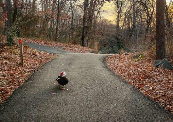 Wandering duck near Four Mile Run (Flickr pool photo by Dennis Dimick)
