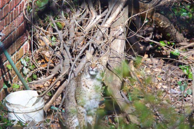 Possible bobcat sighting in Donaldson Run (photo courtesy @designpowers)