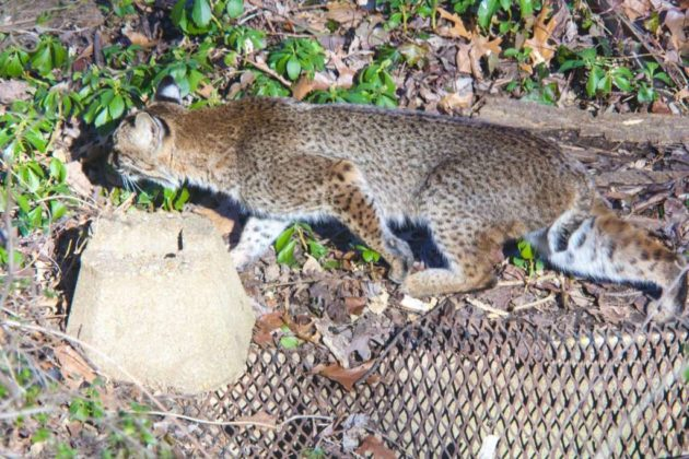 Possible bobcat sighting in Donaldson Run (photo courtesy @designpowers)