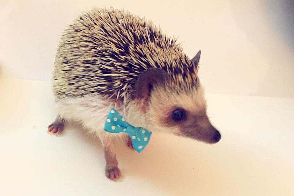 how to hold a hedgehog