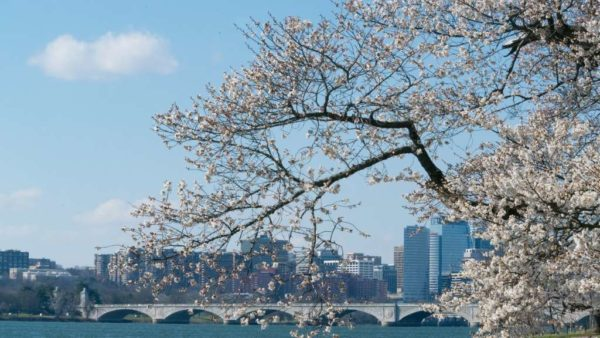 Cherry blossoms, Memorial Bridge and Rosslyn (Flickr pool photo by John Sonderman)